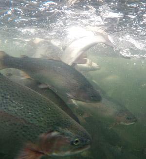 Kaloja altaassa