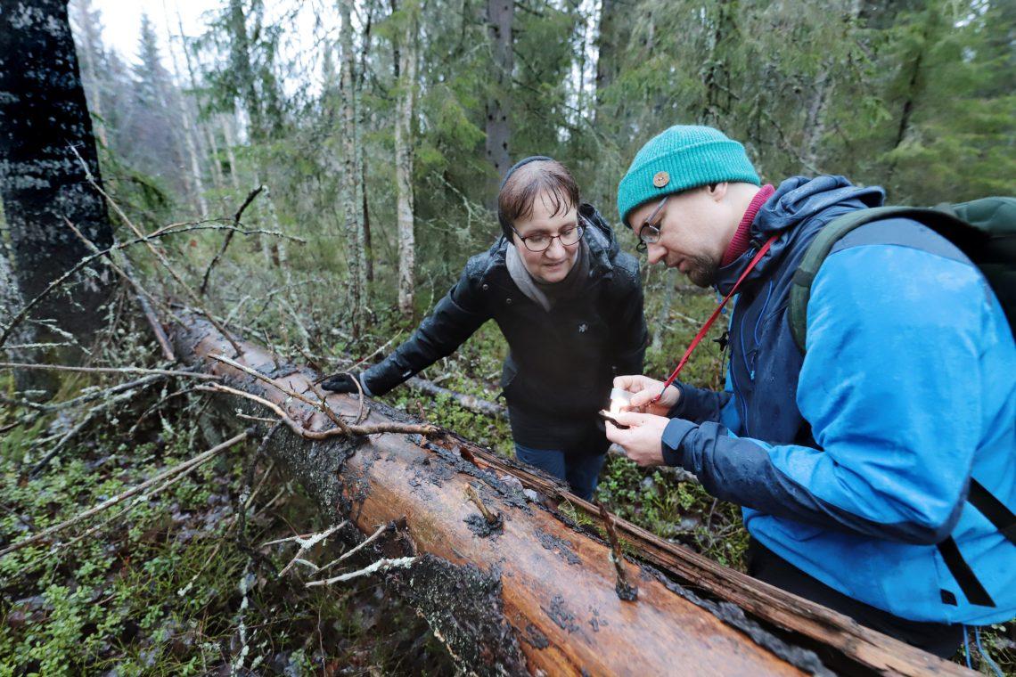 Maarit Kaukonen ja Tuomas Kallio tutkivat lahopuuta