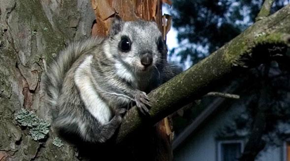 Liito-orava oksalla